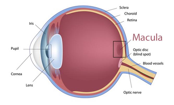 Eyeball diagram with macula highlighted.